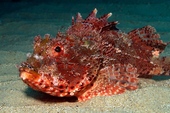 Underwater sydney eastern red scorpionfish for Rock cod fish
