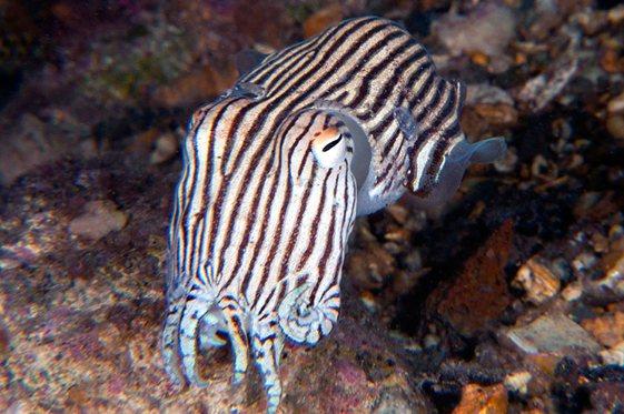 21da4fd499 Underwater Sydney - Striped Pyjama Squid